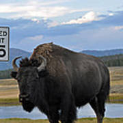 Speedy Bison In Yellowstone National Park Poster