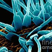 Sperm On Egg During Fertilization Poster