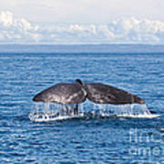 Sperm Whale Tail  Physeter Catodon Poster