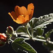 Sphaeralcea Ambigua Poster