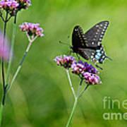 Spicebush Swallowtail Butterfly In Garden Poster
