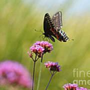 Spicebush Swallowtail Butterfly In Meadow Poster