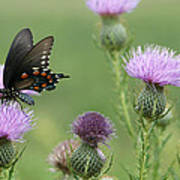 Spicebush Swallowtail Butterfly On Bull Thistle Wildflowers Poster