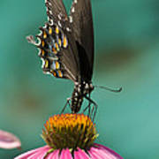 Spicebush Swallowtail Butterfly - Papilio Troilus Poster