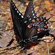 Spicebush Swallowtail Butterfly Preflight Poster