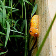 Spicebush Swallowtail Caterpillar Poster
