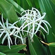 Spider Flower In Sint Maarten Poster