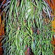 Spider Plant Poster