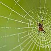 Spider Web With Dew Drops With Spider On Web Poster