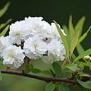Spirea Blossom Poster