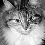 Spooleete. Cat Portrait In Black And White. Poster