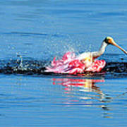 Spoonbill Bath Time  Poster