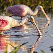 Spoonbill Reflections Poster