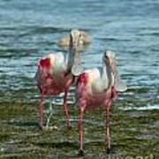 Spoonbills At The Shore Poster