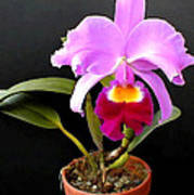 Spotlight On Purple Potted Cattleya Orchid Poster