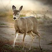 Spotlighted Mule Deer Poster