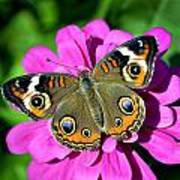 Spotted Butterfly On Pink Flower Poster