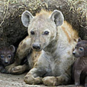 Spotted Hyena Mother And Pups Poster