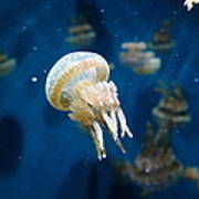 Spotted Jelly Fish 5d24950 Poster by Wingsdomain Art and Photography