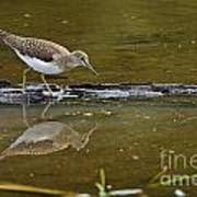 Spotted Sandpiper Pictures 61 Poster