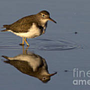 Spotted Sandpiper Reflection Poster