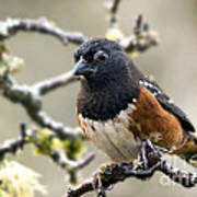Spottet Towhee With Attitude Poster