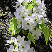 Spring Apple Blossoms Poster