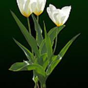 Spring - Backlit White Tulips Poster