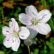 Spring Beauty Wildflowers - Claytonia Virginica Poster