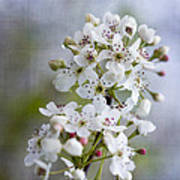 Spring Blooming Bradford Pear Blossoms Poster