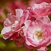 Spring Roses Poster