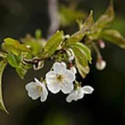 Spring Blossom Poster