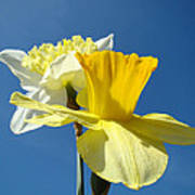 Spring Blue Sky Yellow Daffodil Flowers Art Prints Poster by Baslee Troutman