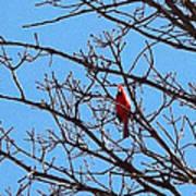 Spring Cardinal Poster