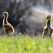Spring Chicks In The Sunshine Poster