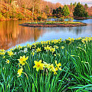 Spring Daffodils At Laurel Ridge-connecticut  Poster