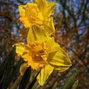 Spring Daffodils  Poster by Brian Roscorla