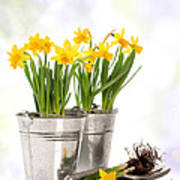 Spring Daffodils Poster by Amanda And Christopher Elwell