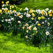 Spring Daffodils. Park Keukenhof Poster