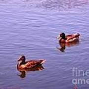 Spring Ducks Poster