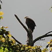 Spring Eagle I Poster