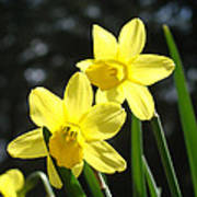 Spring Floral Art Prints Glowing Daffodils Flowers Poster