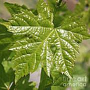 Spring Grape Leaf Poster