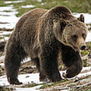Spring Grizzly Bear Poster