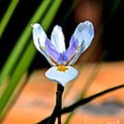 Spring Iris Poster