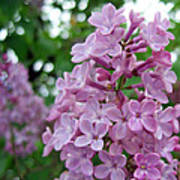 Spring Lilac Poster