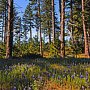 Spring Lupines In The Forest Poster