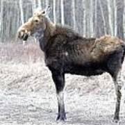 Spring Moose Poster