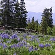 Spring Mountain Lupines Poster