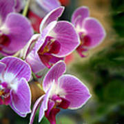 Spring Orchids I Poster